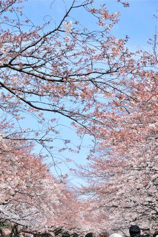 上野さくら 2009 027.jpg