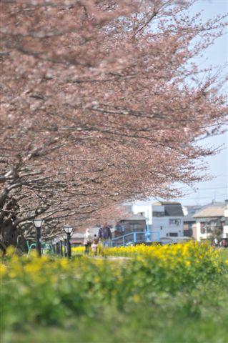 桜 011.jpg
