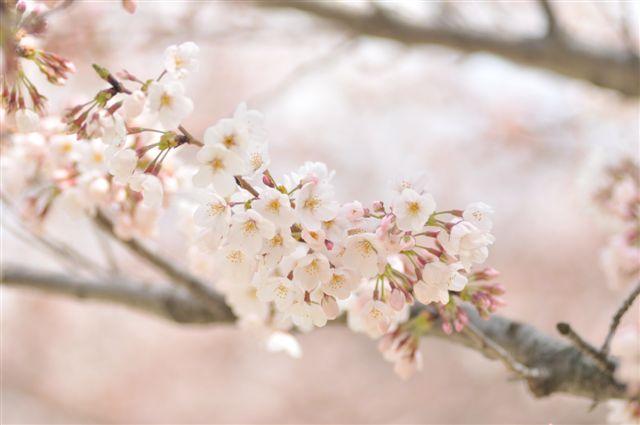 桜 082 (2).jpg