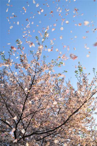 桜 570.jpg