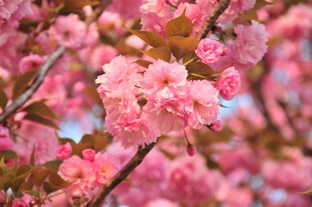 桜 741.jpg